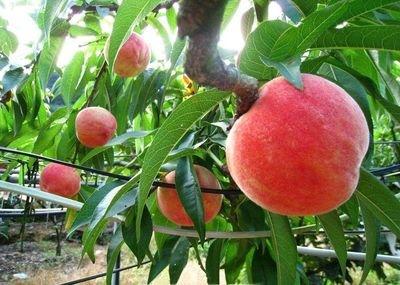 造成桃树病虫害发生的原因是什么