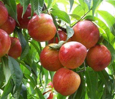 桃树土肥水管理中存在哪些问题