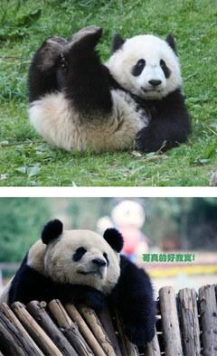 【巨逗】搞笑动物之熊猫可爱图片,国宝熊猫之